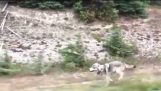 Wolf Chases Family in Car