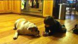 Niño besa y sorprende a un bulldog inglés