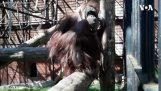 Een orang-oetan probeert een masker te dragen