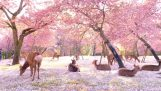 Dozens of deer are resting under the cherry blossoms (Japan)