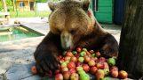 En bjørn spiser frokosten sin
