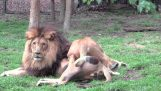 Lioness wants to mate with the lion