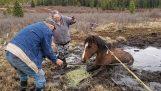 Salvare un cavallo selvaggio da una palude