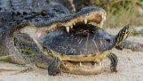 Αλιγάτορας επιχειρεί να φάει μια χελώνα