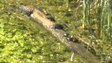 Tartarughe su un tronco galleggiante