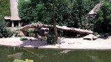 Lion fångar en häger i en djurpark