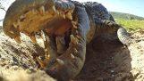Μαμά κροκόδειλος μεταφέρει τα μικρά της με το στόμα