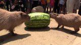 Τα καπιμπάρα τρώνε ένα τεράστιο καρπούζι (Ιαπωνία)
