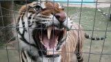 Μην πλησιάζεις μια τίγρη όταν τρώει το φαγητό της