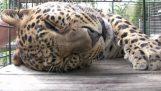 Леопардът иска пухкав