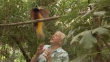 Un pájaro interrumpe constantemente David Attenborough