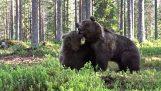 两只熊决斗