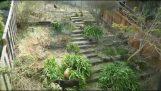 Δέκα κατσίκες εξαφανίζουν έναν κήπο σε 6 μέρες