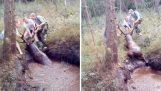Aider un cerf qui a coulé dans le marais