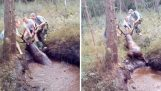 Helping a deer that sank in a swamp