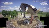 Stork throws one of its young out of the nest