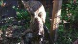 दुर्लभ स्कॉटिश अनधिकृत बिल्ली का बच्चा चेस्टर चिड़ियाघर में