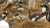 Super Mega Penguin Poo – Penguin pooping compilation