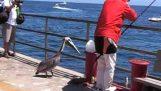 Pelícano se come de un bocado a un pescado