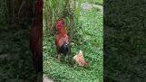 ไก่เล่นที่ตายแล้วเพื่อหลีกเลี่ยงไก่