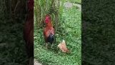 母鸡假死避免公鸡