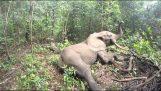 एक हाथी निद्रावहन के बाद जाग