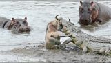 Hippos save a wildebeest from crocodiles