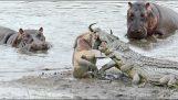 Ιπποπόταμοι σώζουν ένα γκνου από τους κροκόδειλους