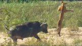 Βούβαλος εκτοξεύει ένα νεαρό λιοντάρι στον αέρα