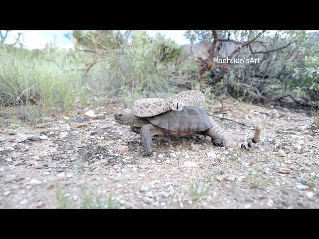 La tartaruga e il serpente a sonagli