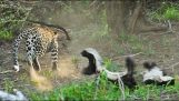Badger saves the baby from the claws of a leopard