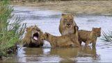 Lion familie gik en tur på stranden