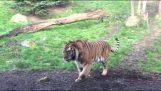 ไม่เคยปล่อยให้เสือจากกลางวันนอนหลับ