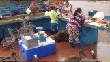 Φώκια και πελεκάνοι περιμένουν για λίγο φαγητό