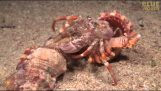 A hermit crab moves along with anemones