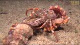 Ένα καβούρι ερημίτης μετακομίζει παρέα με τις ανεμώνες