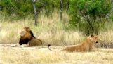Η λέαινα φλερτάρει με το λιοντάρι