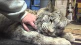 Le Lynx de Darling gâté