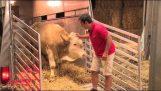 Ein Stier wird nach Jahren in einer Scheune freigegeben.