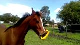 Άλογο vs πλαστικό κοτόπουλο
