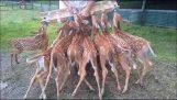 mangiare tempo 8 giovane cerbiatto
