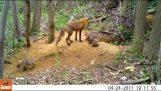 Гладен лисичета