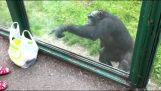 Smart chimp asks a refreshment