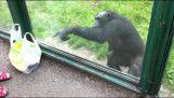 Έξυπνος χιμπατζής ζητά ένα αναψυκτικό