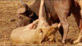 Λιοντάρια εναντίον βούβαλου σε μια σκληρή μάχη