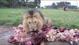 Η ώρα του φαγητού για τα λιοντάρια