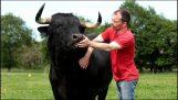 Een stieren voor stierengevechten, aangenomen