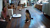 Μια παράλυτη γάτα ακούει την επιστροφή της ιδιοκτήτριάς της