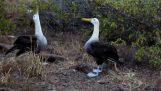 Танцът на чифтосване на албатроса