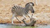 Zebra cercando di uccidere un puledro, mentre sua madre combatte